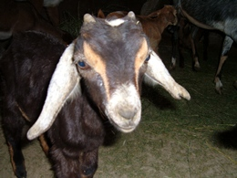 Cute goat with long ears hanging down, white nose, two tone of brown on the face, and two little horns starting to grow.