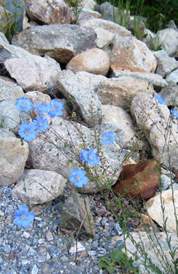 Rocky Mountain Wildflowers - Wild Blue Flax. Enjoy wildflower day hikes around Ski Town Condos.