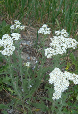 Yarrow flowers with many tiny flowers with five white rays and yellow disks, clusteed in a dense flat-toped umbrel of a thin stem with green narrow, long leaves.