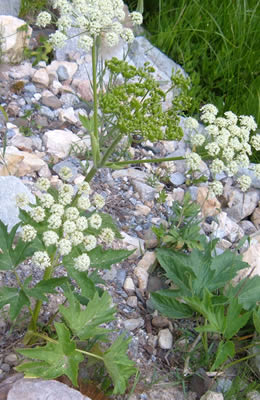 Wildflower called Cow Parsnip in a rock garden.  Flowers have a huge flat-topped umbels of tiny white flowers on a tall sturdy stem with large leaves.